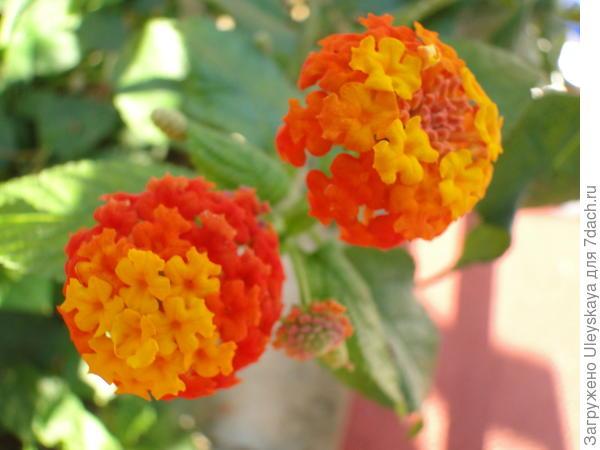 Лантана гибридная в цветении крупным планом
