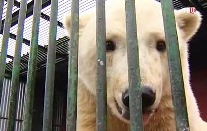 Медвежонок из Якутии поселится в Московском зоопарке