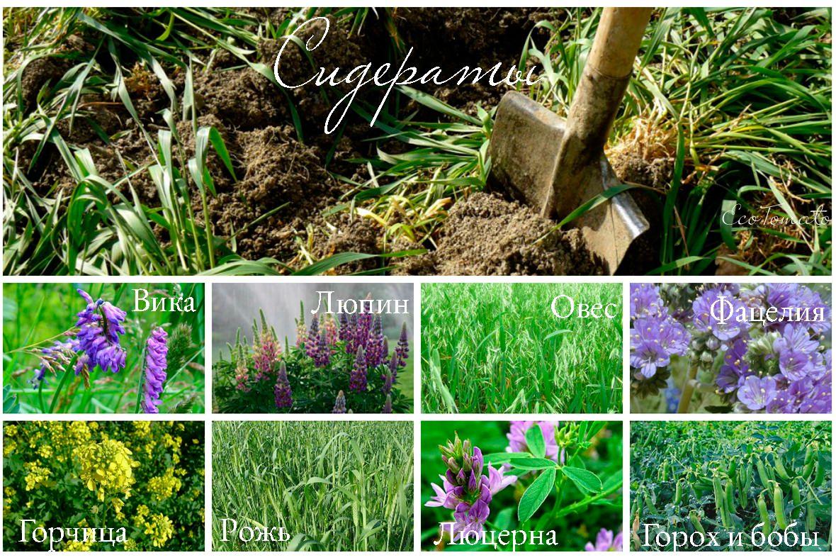 Зеленые удобрения — сидераты