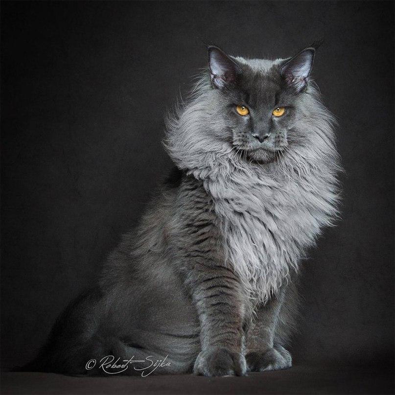Величественная красота мейн-кунов от фотографа Robert Sijka