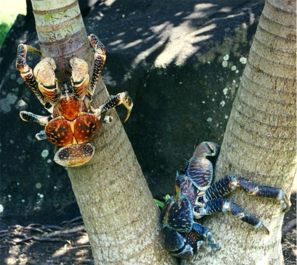 Coconutcrab23 Самый крупный представитель членистоногих, кокосовый краб!
