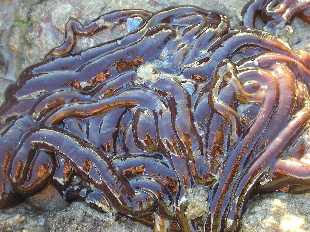 Image result for Червь Lineus longissimus