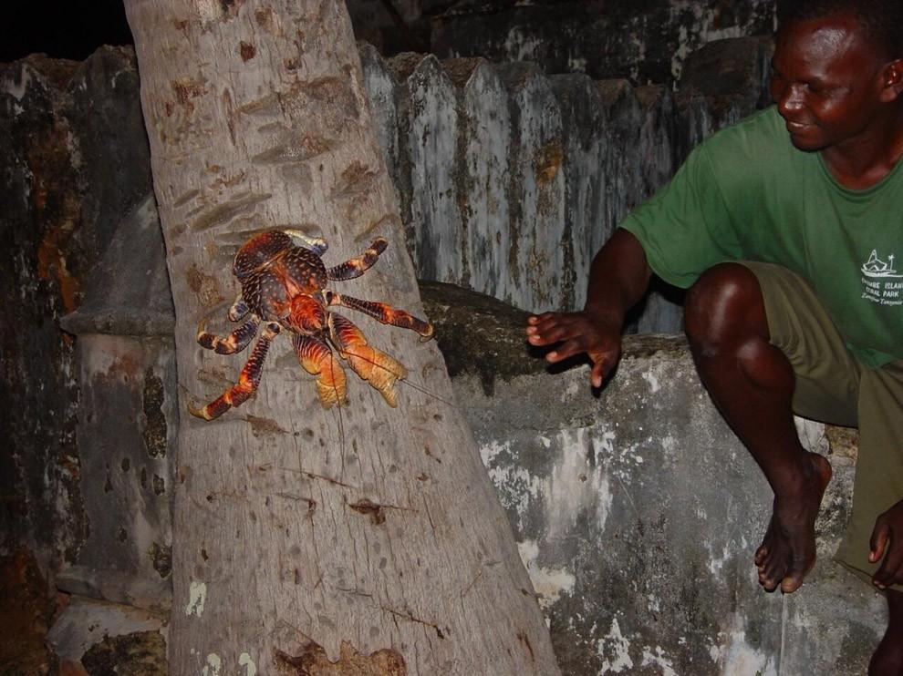 Coconutcrab22 Самый крупный представитель членистоногих, кокосовый краб!
