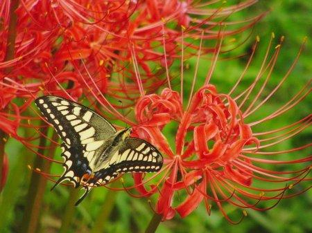 Овеянный легендами: цветение ликориса