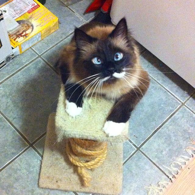 Милейшие косоглазые коты, чей изъян делает их уникальными животные, косоглазые коты