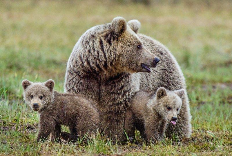 Медведица с медвежатами «вышла в люди» на одном из курортов Красной Поляны