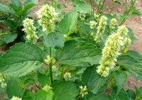 13 полезных растений на вашем участке: