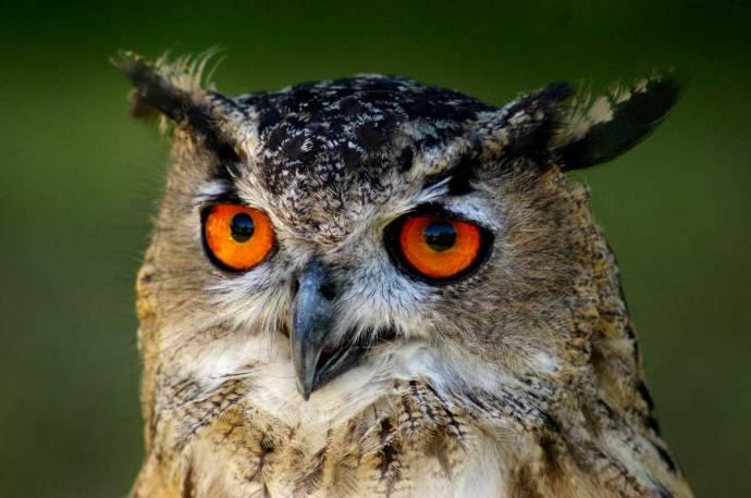 Стоит ли заводить сову как домашнего питомца?