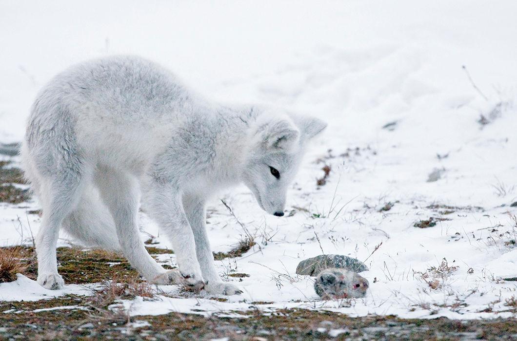 Дикий животный мир Приполярья