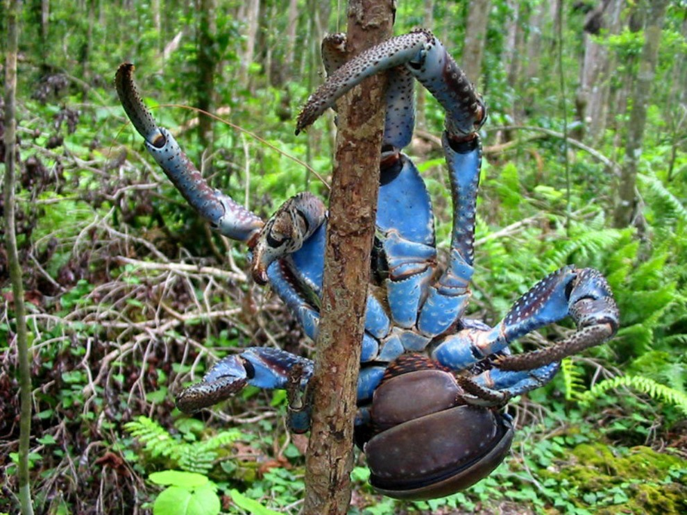 Coconutcrab25 Самый крупный представитель членистоногих, кокосовый краб!