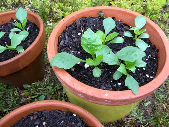 Выращивание георгинов из семян 508