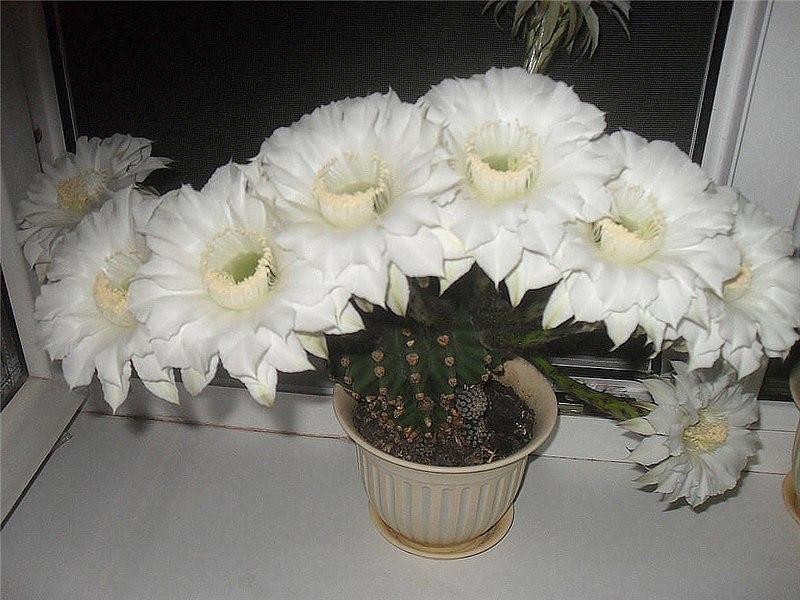 Уход за кактусами зимой
