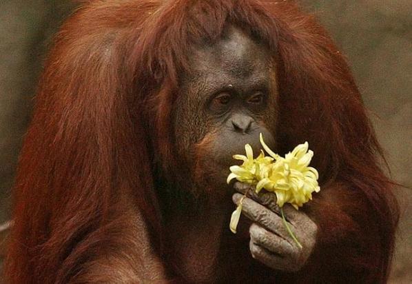 Орангутан из зоопарка Аргентины получил право на свободу