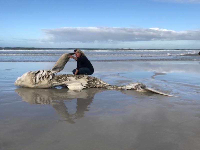 Большим белым акулам у побережья ЮАР приходится несладко