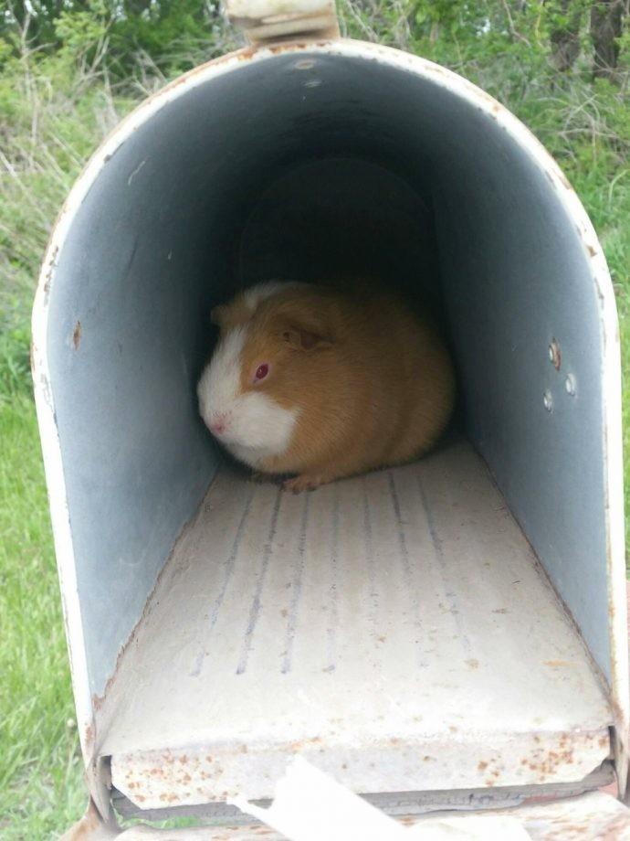 Подброшенная в почтовый ящик морская свинка