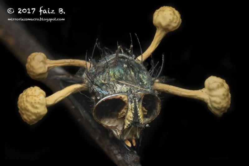 Гриб–манипулятор строит внутри муравья–зомби трехмерную сеть