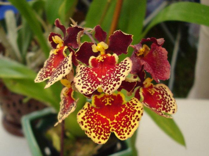 5230261_orhideya_dop_5 (700x525, 77Kb)