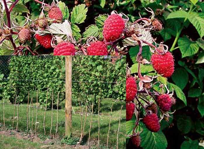 Посадка и пересадка малины осенью