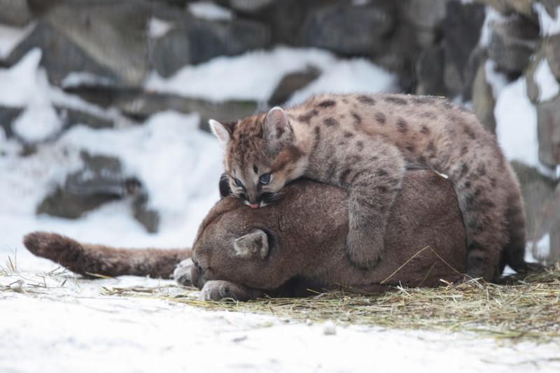 Игры маленького пуменка со своей мамой в новосибирском зоопарке