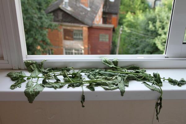 Листья томата на подоконнике отлично отпугнули комаров