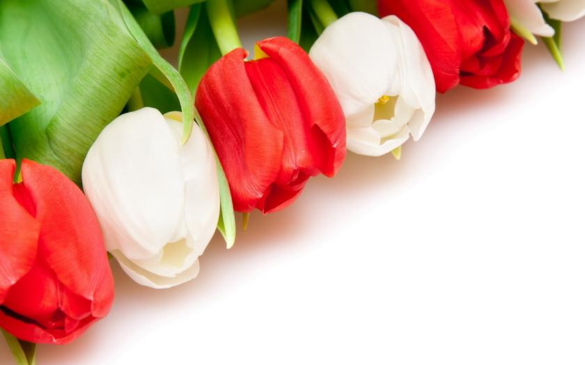 красые и белые цветы, тюльпаны