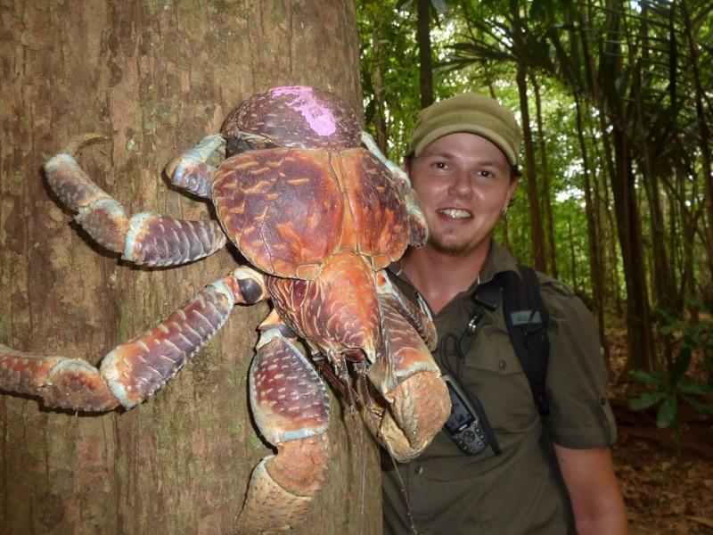 Coconutcrab10 800x600 Самый крупный представитель членистоногих, кокосовый краб!