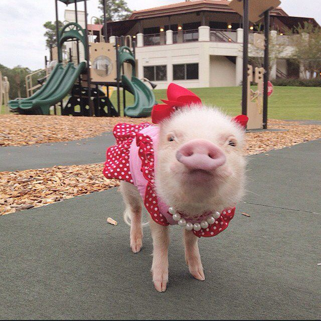 Картинки фото хрюшка свинка