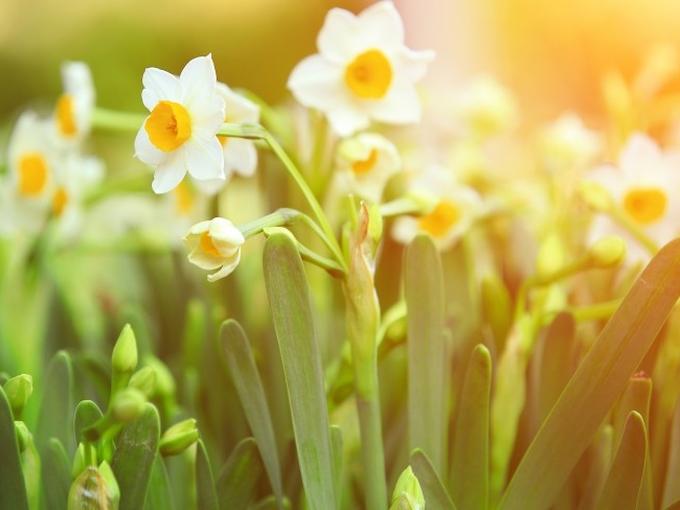 Восхитительные нарциссы: 5 новых гибридов для посадки этой весной