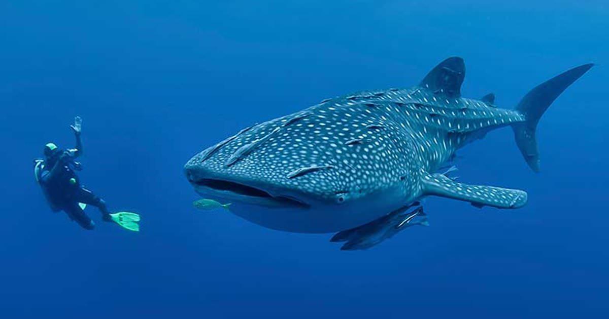 Огромная китовая акула схватила дайвера за ногу. Но оказалось, она просила о помощи!