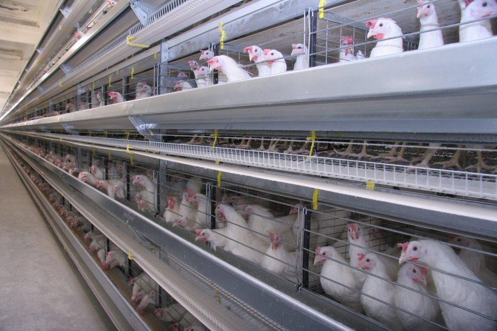 Качественный экспорт: российские курицы заинтересовали ОАЭ