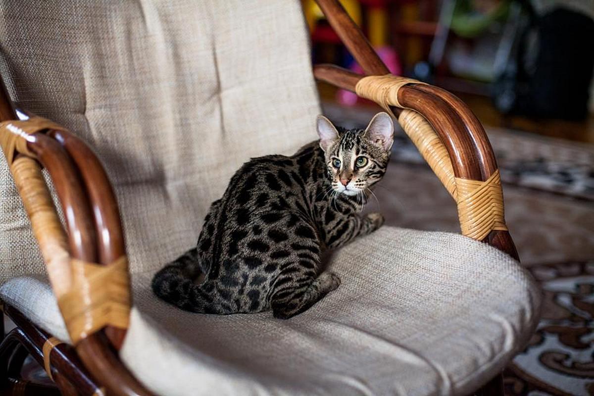 Самая дорогая порода кошек в мире и цена 2017-2018