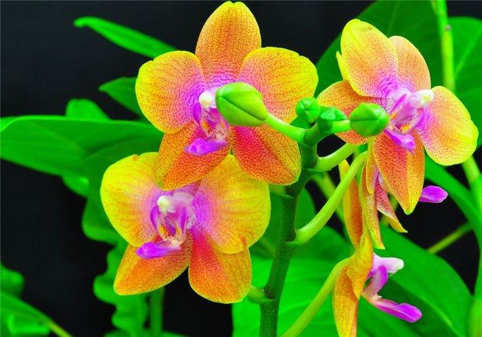 5230261_orhideya_dop3 (700x490, 71Kb)