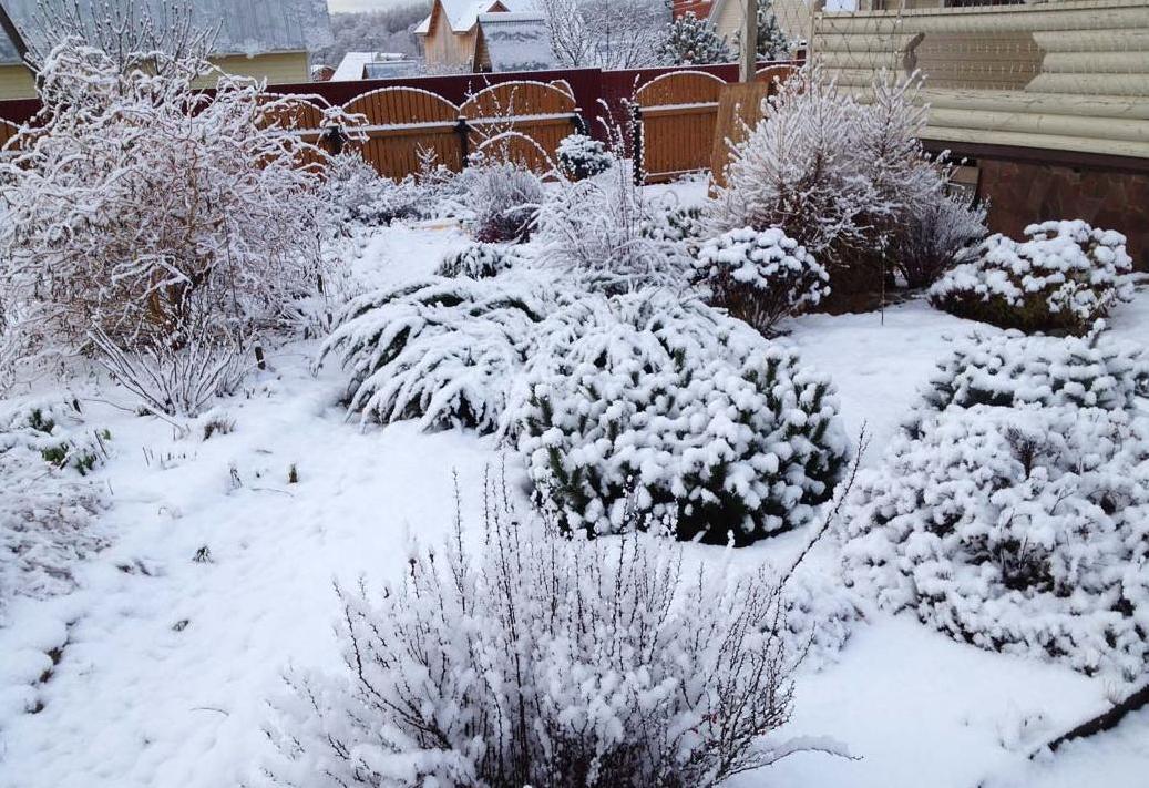 Картинки по запросу снег укрытие растений
