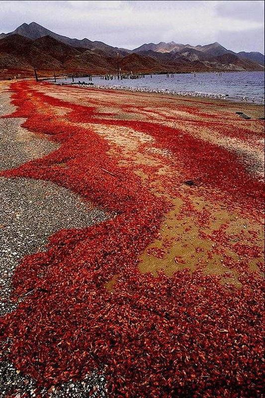 Вылупившиеся личинки крабов сразу попадают в океан и растут в течение 4 недель до выхода из моря.