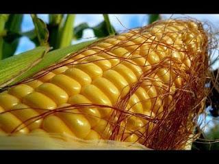 Кукуруза вызрела в Ленинградской области