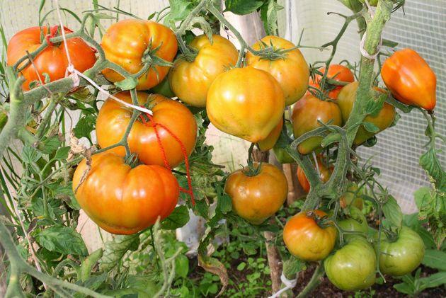 Сорта томатов: Валя, Женечка и Призрак
