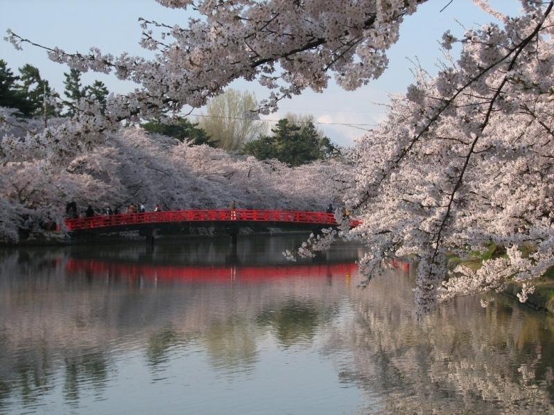 Цветение сакуры в Японии. Фото