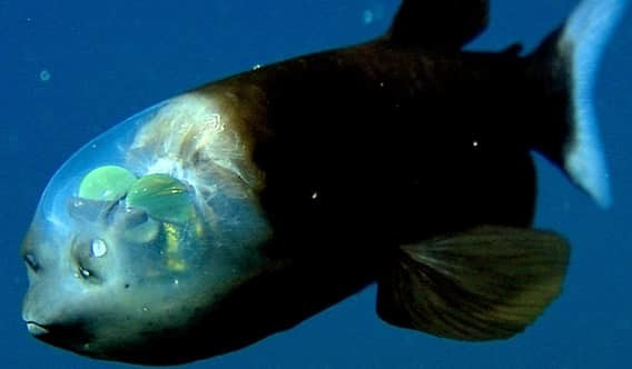 Рыба-призрак море, океан, ужасы