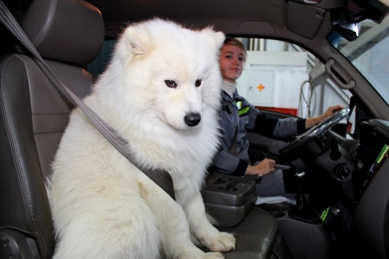 На службе у ГИБДД: собака и енот учат правилам поведения за рулем