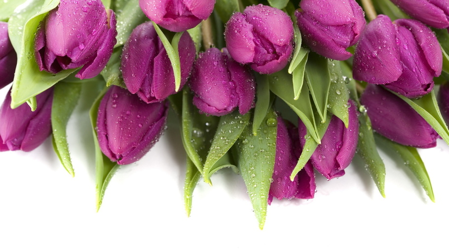 мокрые, фиолетовые, капли, Тюльпаны