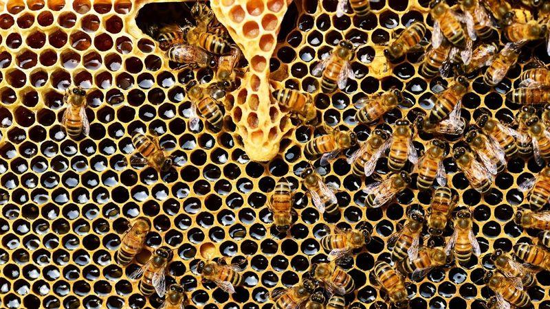 «гены чистоплотности» помогают пчёлам поддерживать социальный иммунитет колонии