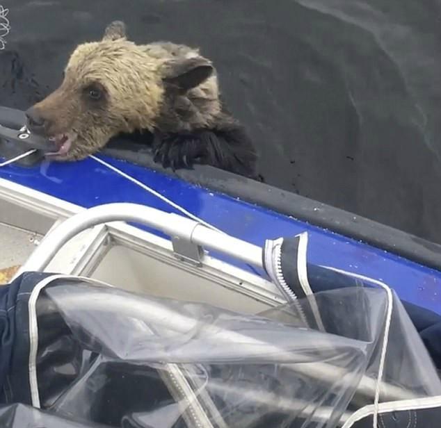 Мама медведица переплывала озеро с детьми. На полпути она устала и вернулась, а малыши начали тонуть, как вдруг… (фото+видео)