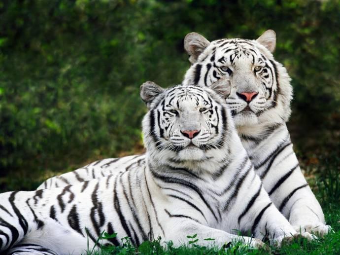 Ученые раскрыли секрет белых тигров