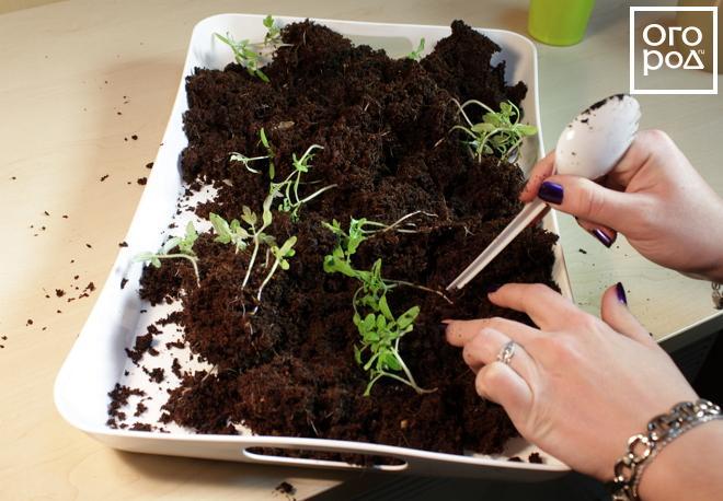 Почему нельзя выращивать в вермикулите