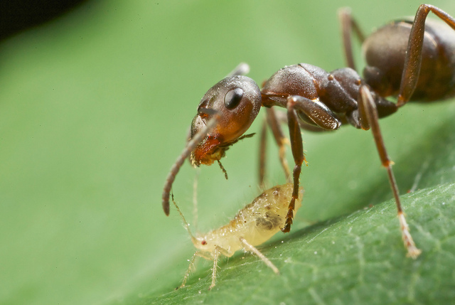 Как избавиться от муравьёв и тли?