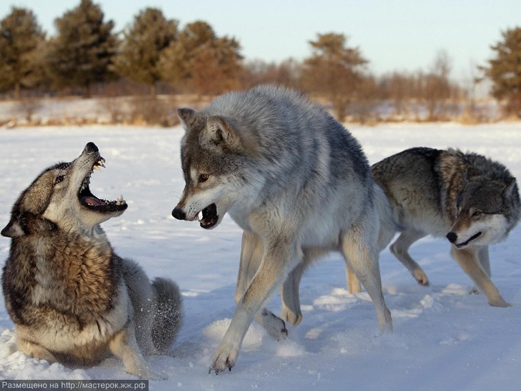 Только статусы о волках