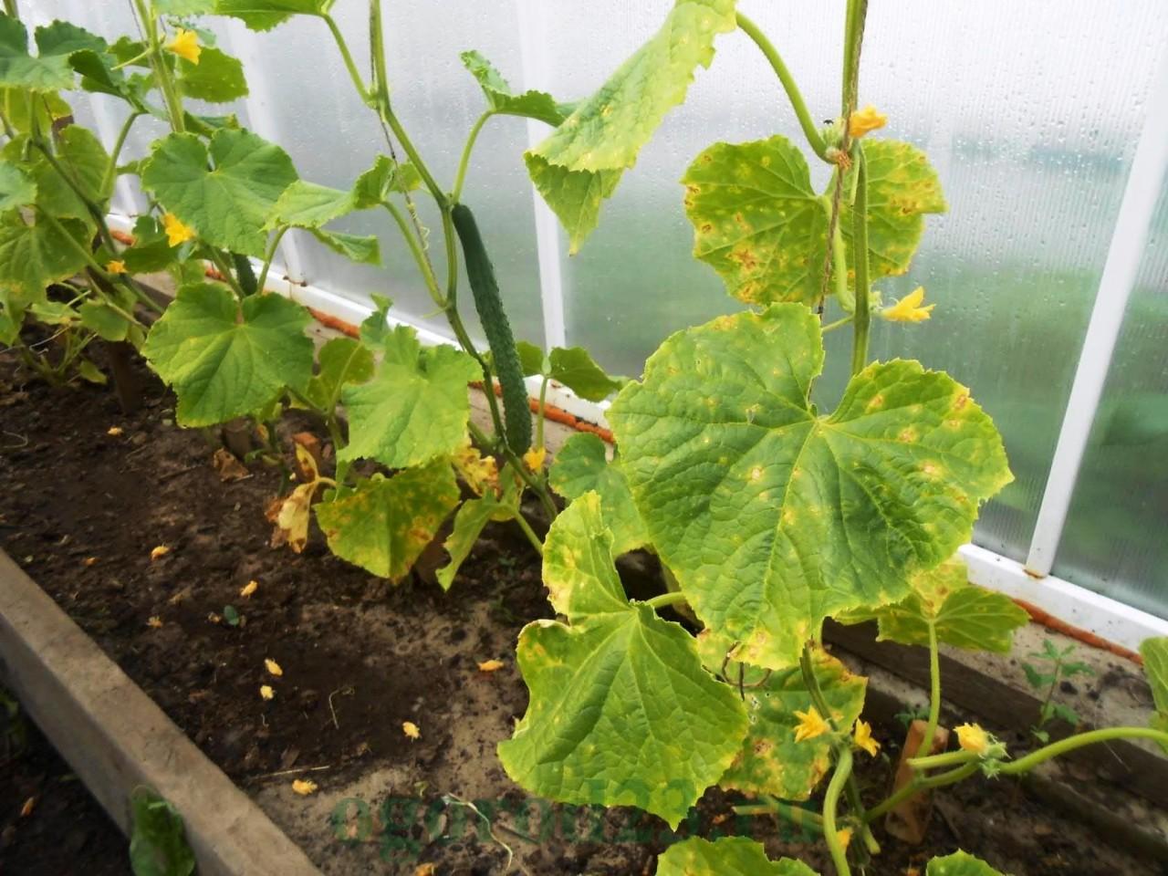 Пероноспороз – опасная болезнь растений на огороде