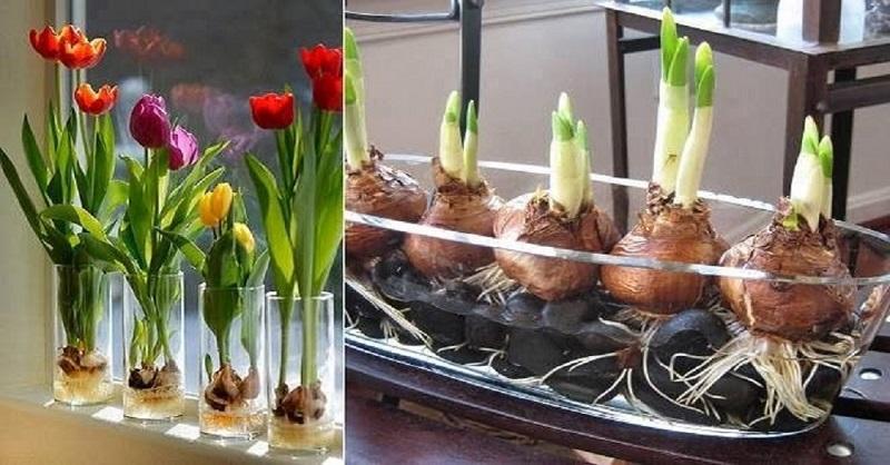 Секрет выращивания тюльпанов дома