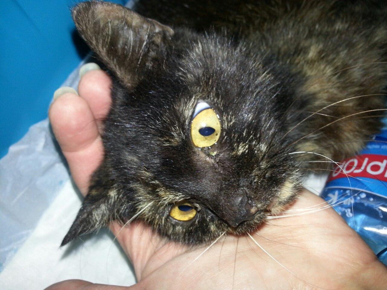 Её нашли в посёлке, в укусах и при смерти… Добрые люди отвезли крошку-кошку в город: теперь Розочка уже пробует ходить