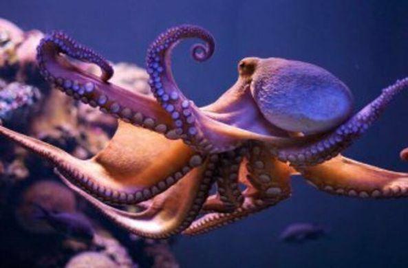 Ученые выяснили, что щупальца осьминога двигаются независимо от его мозга